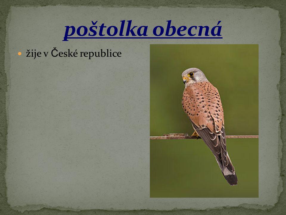 poštolka obecná žije v České republice