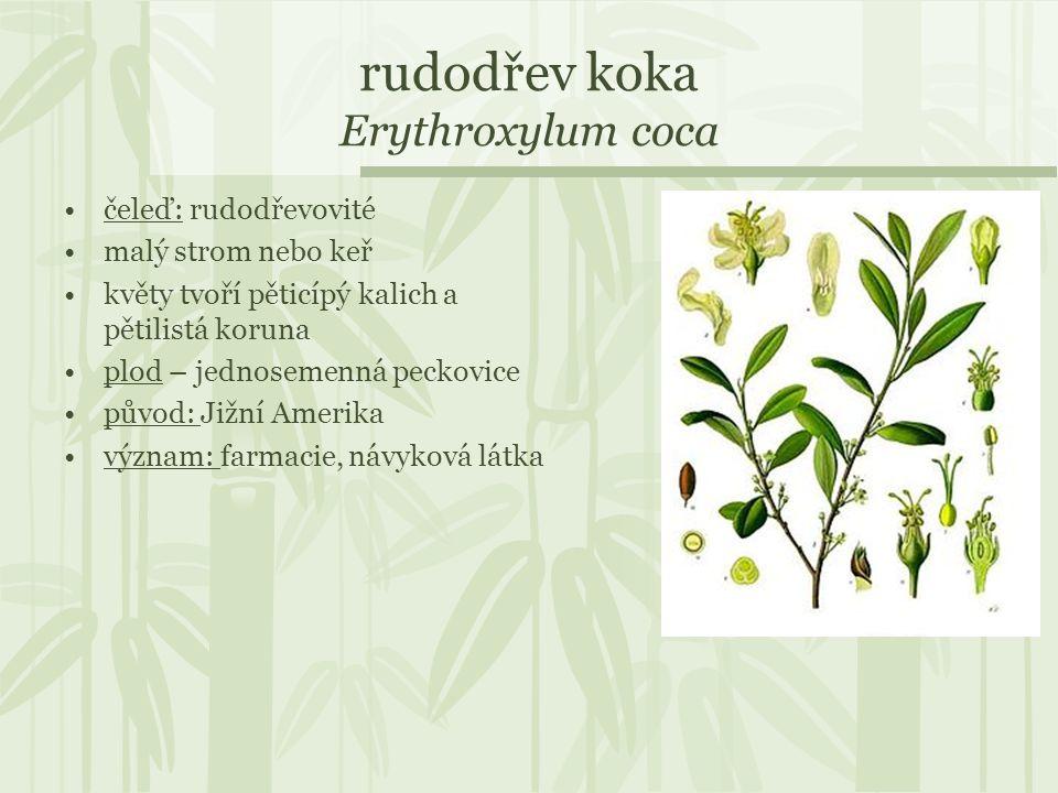 rudodřev koka Erythroxylum coca
