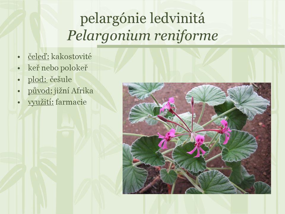 pelargónie ledvinitá Pelargonium reniforme