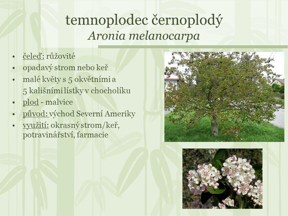 temnoplodec černoplodý Aronia melanocarpa