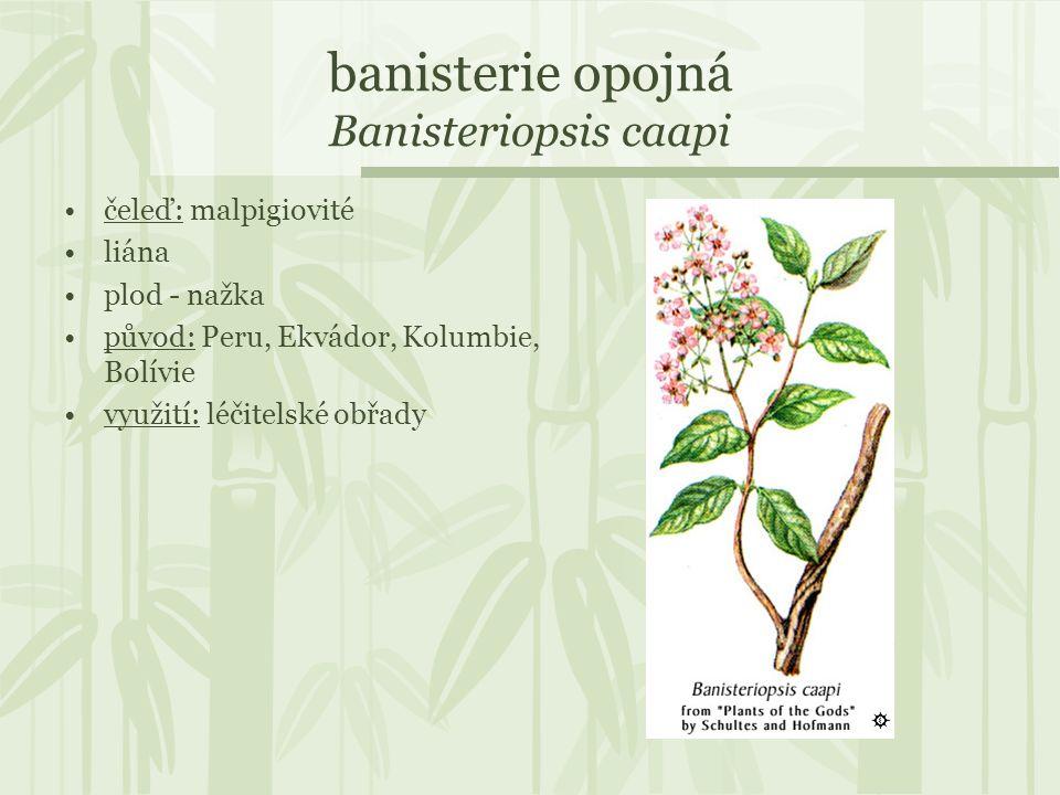 banisterie opojná Banisteriopsis caapi