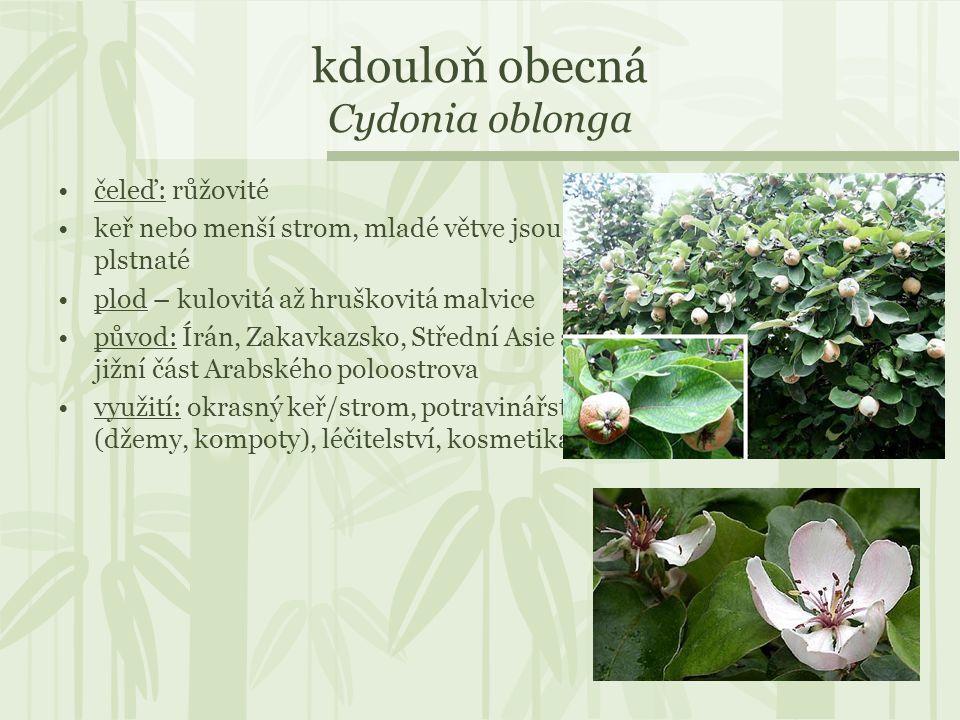 kdouloň obecná Cydonia oblonga