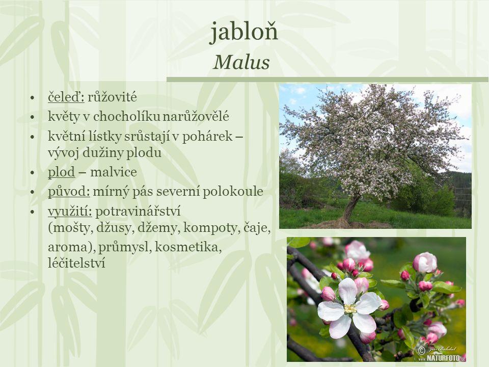jabloň Malus čeleď: růžovité květy v chocholíku narůžovělé