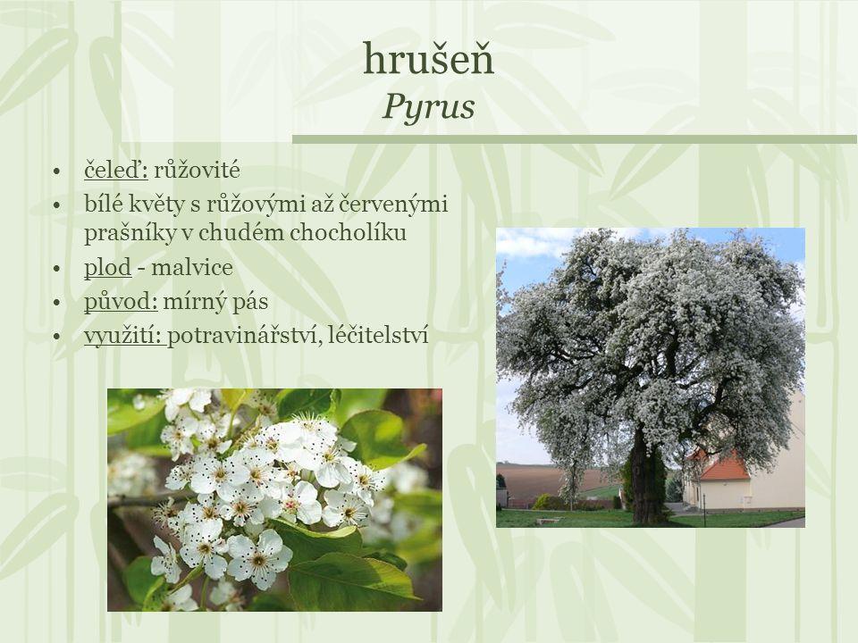 hrušeň Pyrus čeleď: růžovité