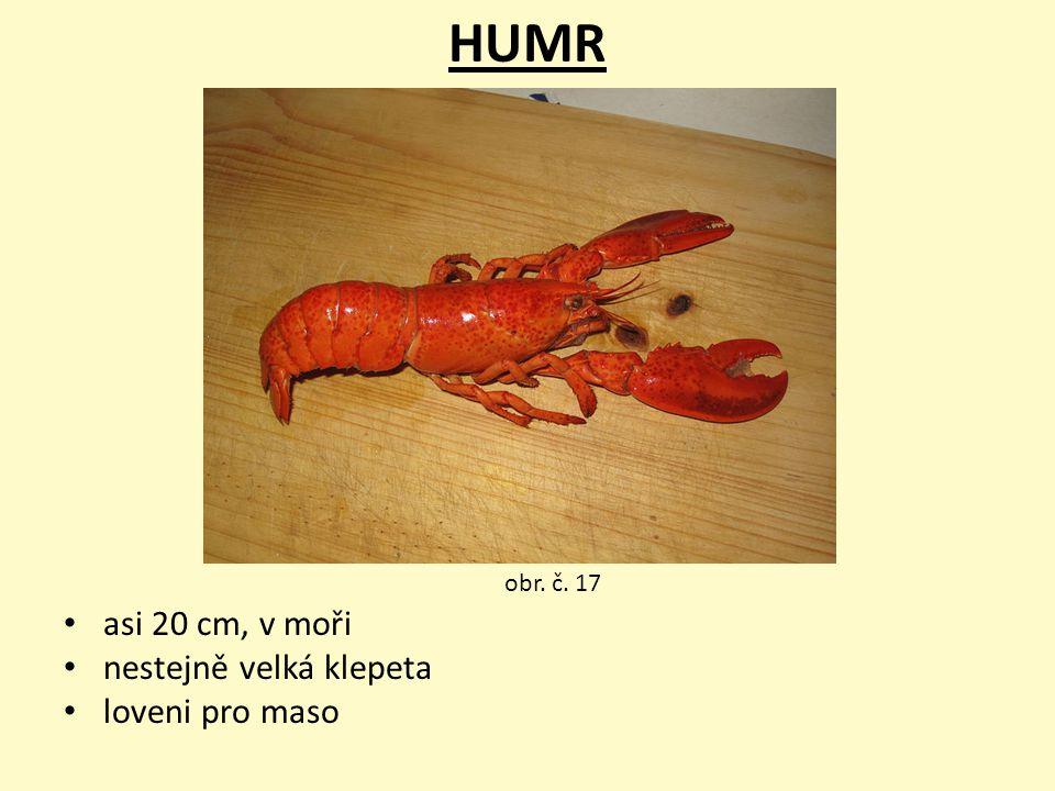 HUMR asi 20 cm, v moři nestejně velká klepeta loveni pro maso