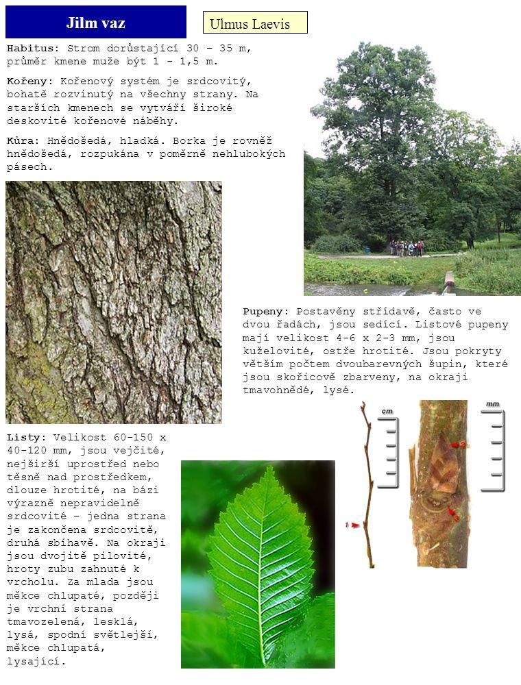 Jilm vaz Ulmus Laevis. Habitus: Strom dorůstající 30 – 35 m, průměr kmene muže být 1 - 1,5 m.