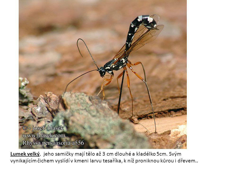 Lumek velký, jeho samičky mají tělo až 3 cm dlouhé a kladélko 5cm. Svým