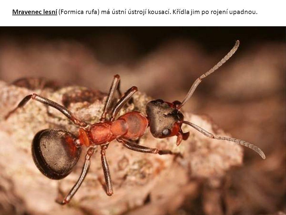 Mravenec lesní (Formica rufa) má ústní ústrojí kousací