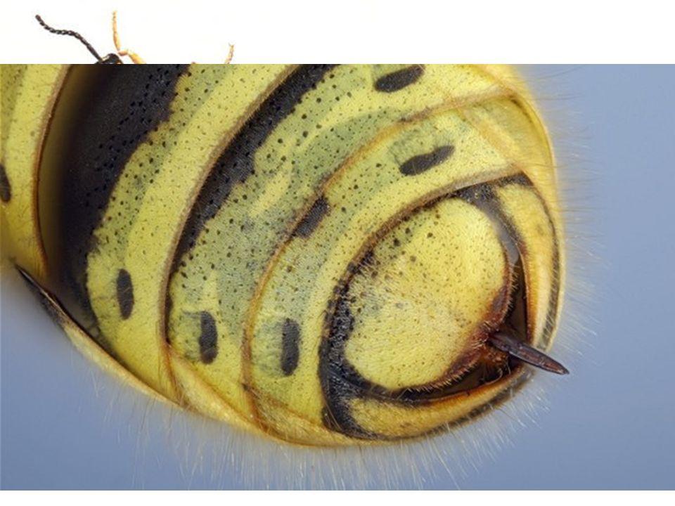 Vosa útočná (Paravespula germanica) Se živí dravě, koncem léta. vykusuje sladké ovocné plody. nebezpečí ohrožení života.