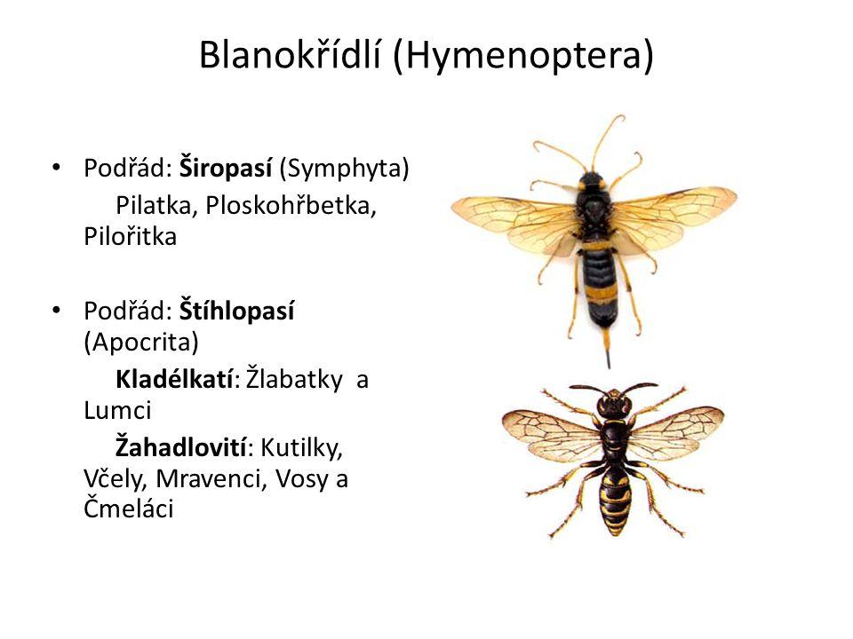 Blanokřídlí (Hymenoptera)