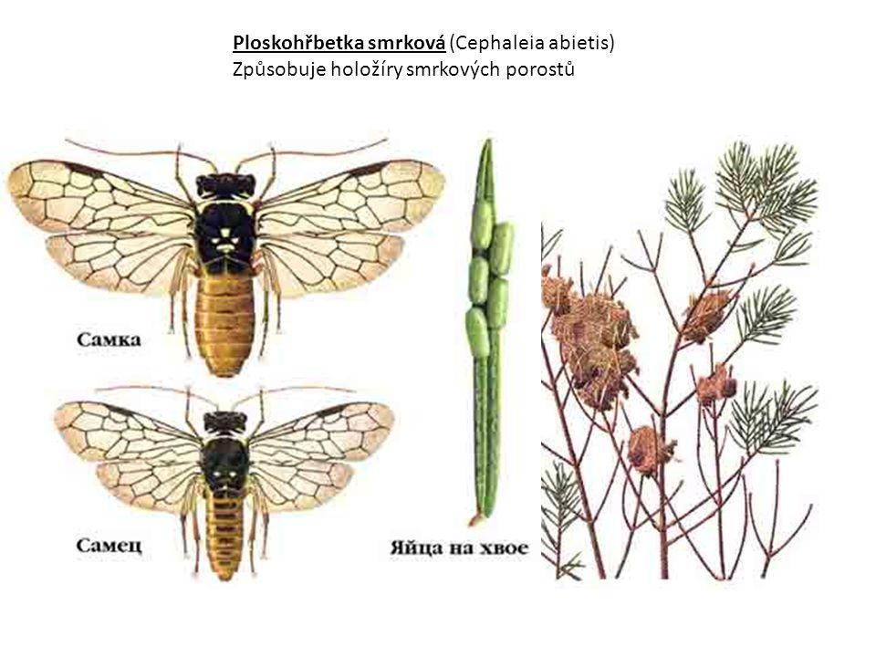 Ploskohřbetka smrková (Cephaleia abietis)