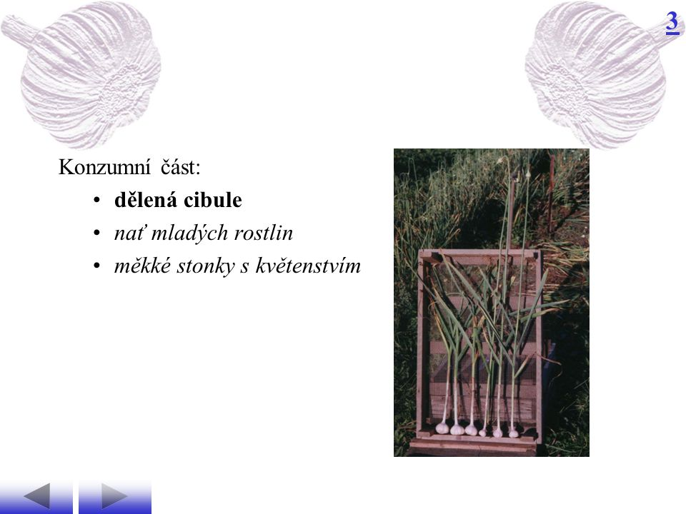 Konzumní část: dělená cibule nať mladých rostlin měkké stonky s květenstvím