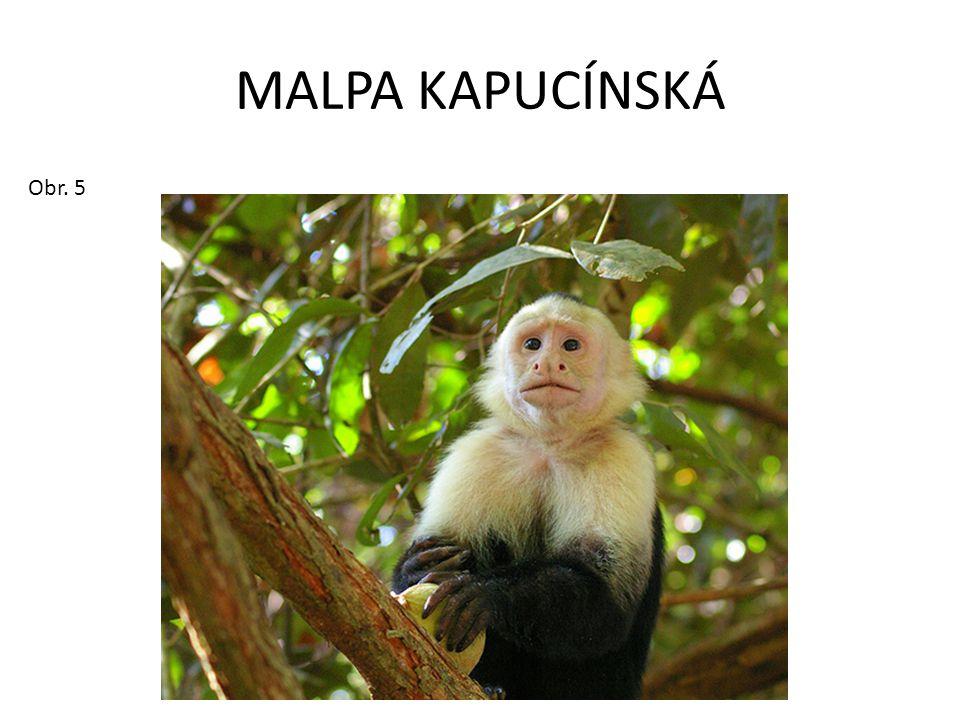MALPA KAPUCÍNSKÁ Obr. 5