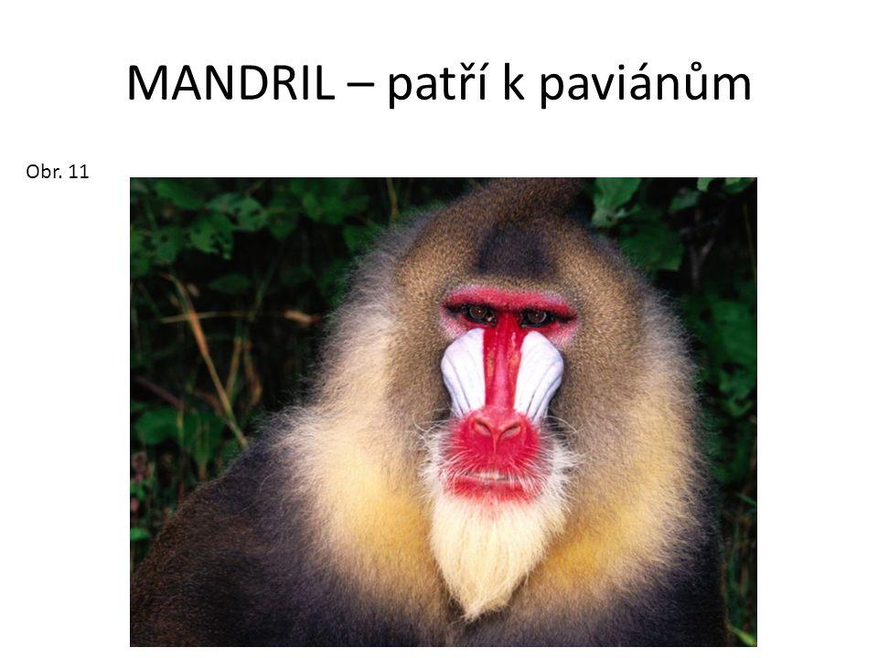 MANDRIL – patří k paviánům