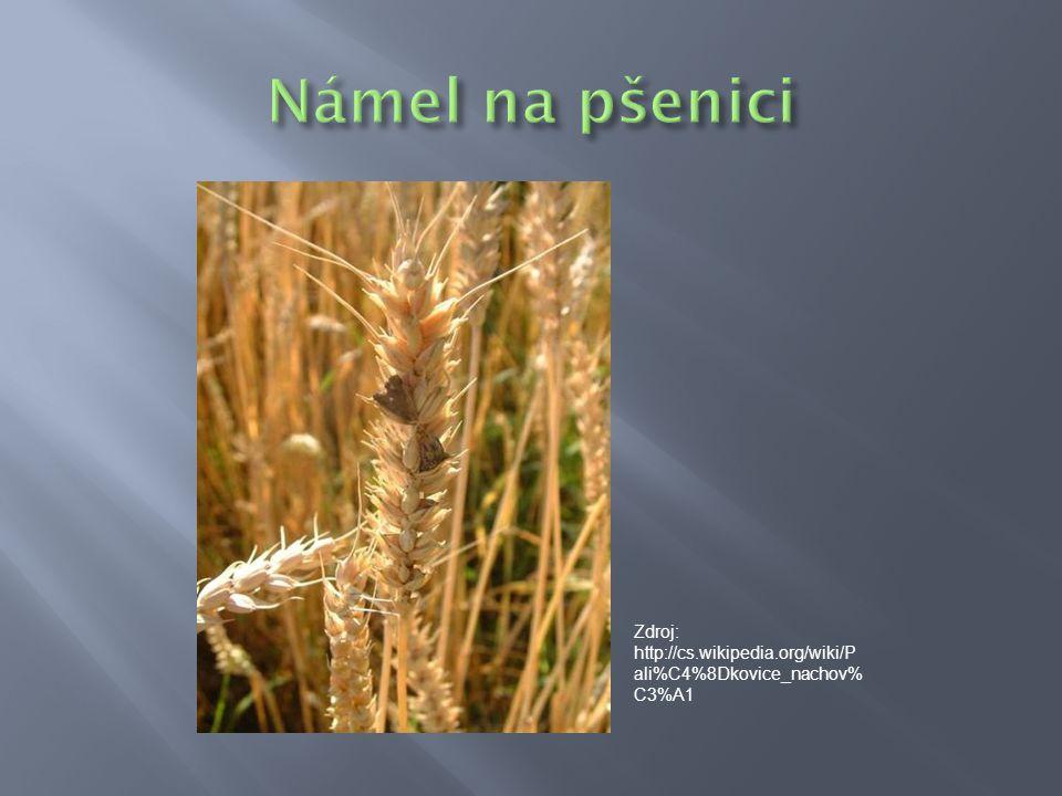 Námel na pšenici Zdroj: http://cs.wikipedia.org/wiki/Pali%C4%8Dkovice_nachov%C3%A1