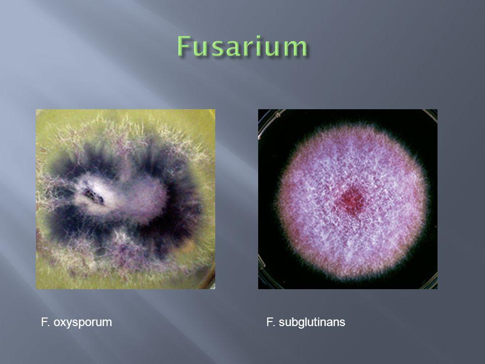 Fusarium F. oxysporum F. subglutinans