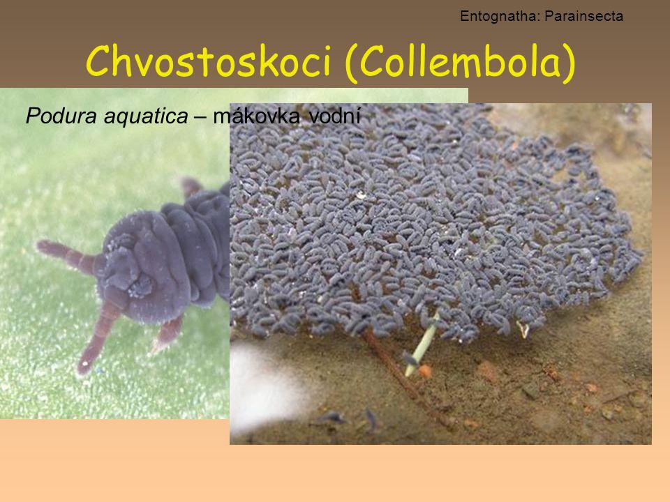 Chvostoskoci (Collembola)