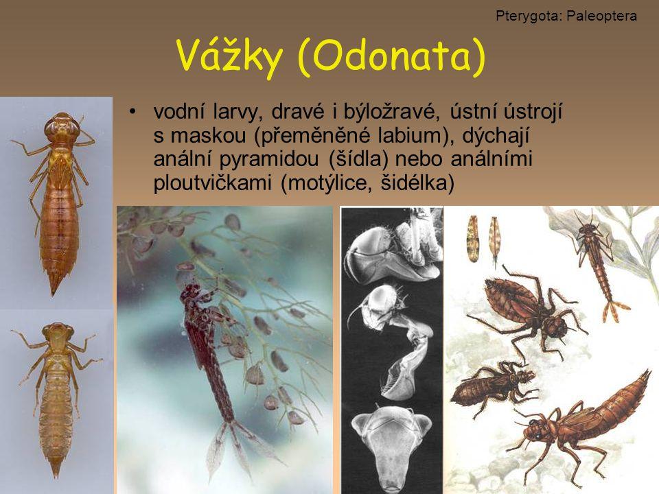 Pterygota: Paleoptera