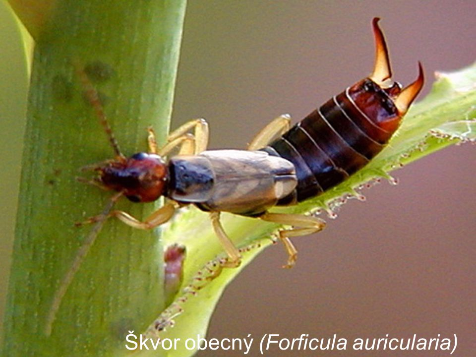 Škvor obecný (Forficula auricularia)