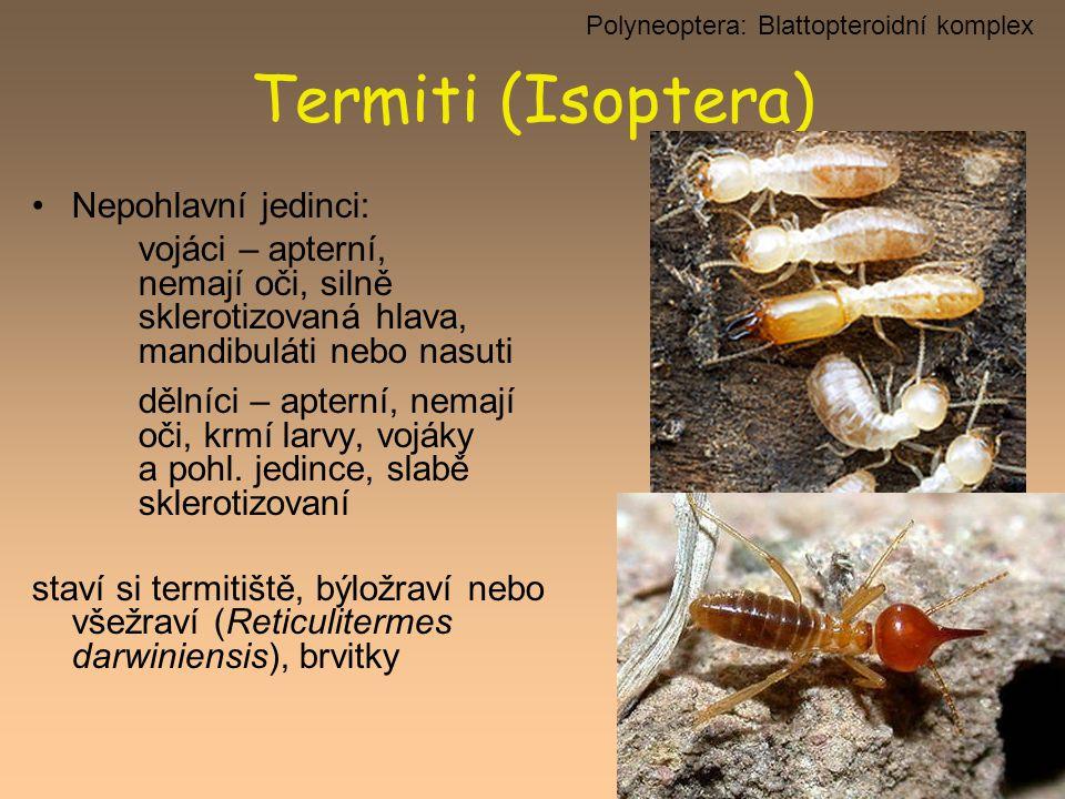 Polyneoptera: Blattopteroidní komplex
