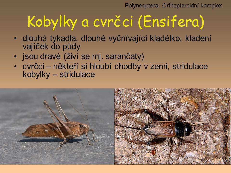 Kobylky a cvrčci (Ensifera)