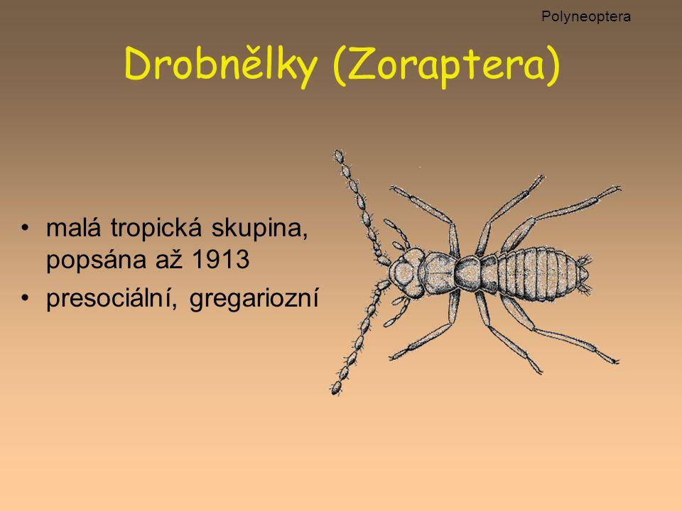 Drobnělky (Zoraptera)