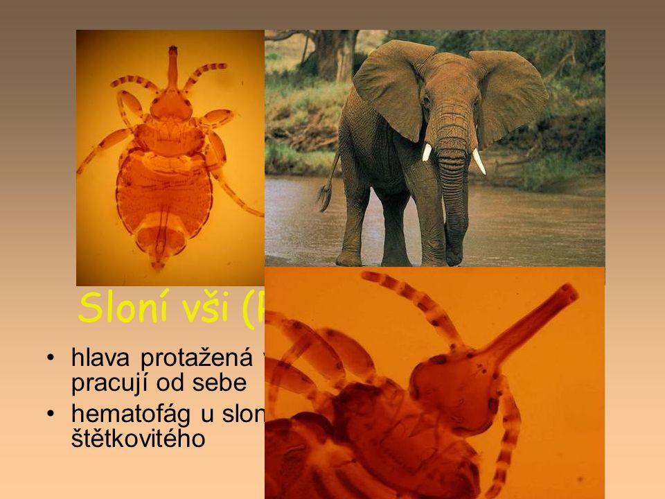 Sloní vši (Rhynchophthirina)