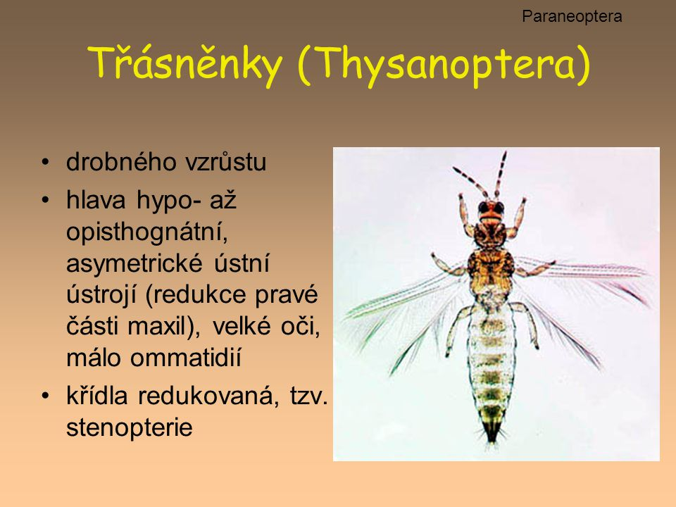 Třásněnky (Thysanoptera)