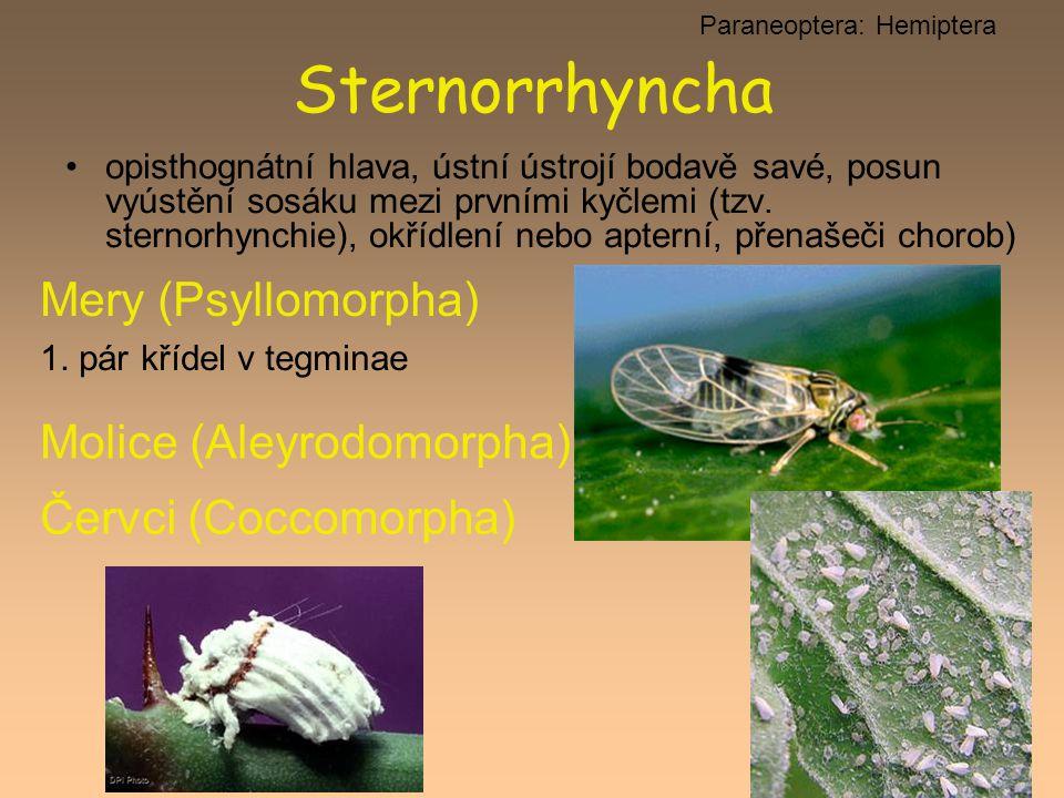 Paraneoptera: Hemiptera