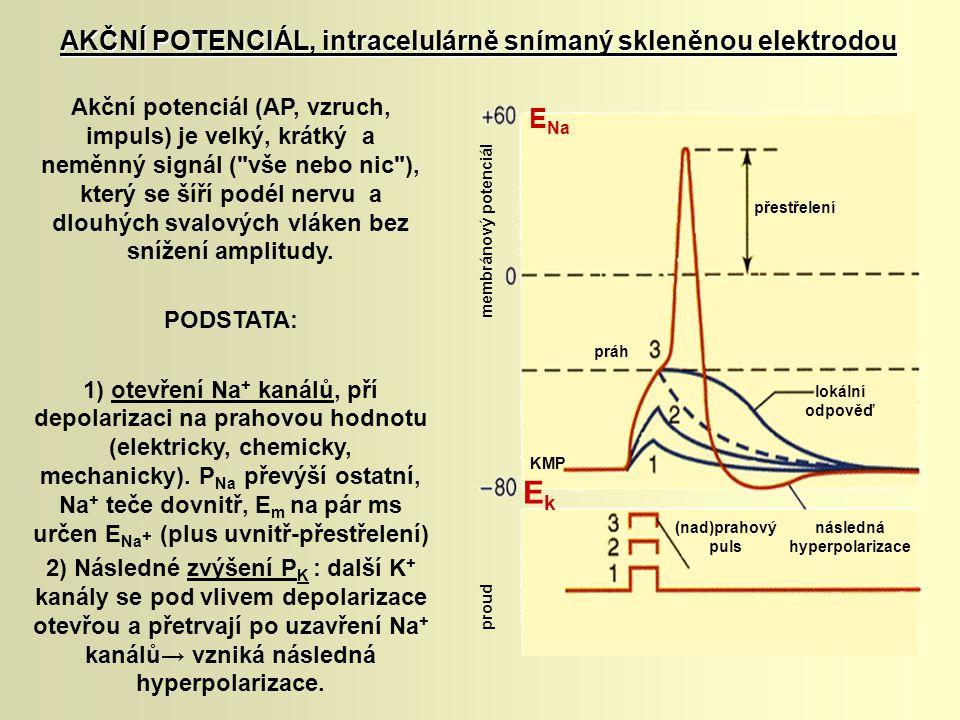 AKČNÍ POTENCIÁL, intracelulárně snímaný skleněnou elektrodou