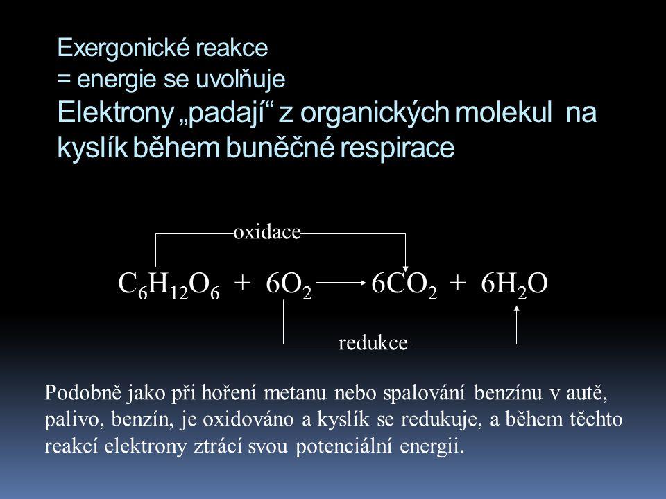 """Exergonické reakce = energie se uvolňuje Elektrony """"padají z organických molekul na kyslík během buněčné respirace"""