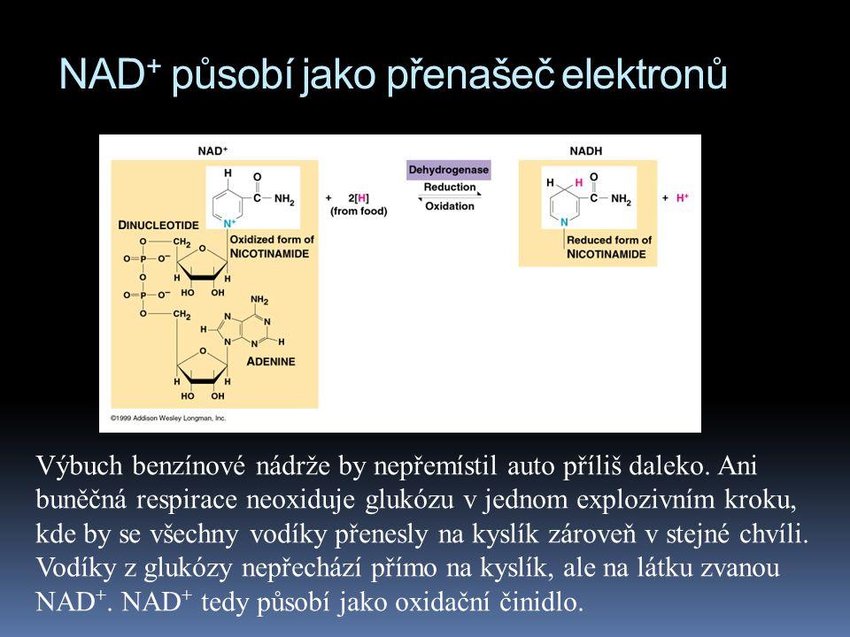 NAD+ působí jako přenašeč elektronů