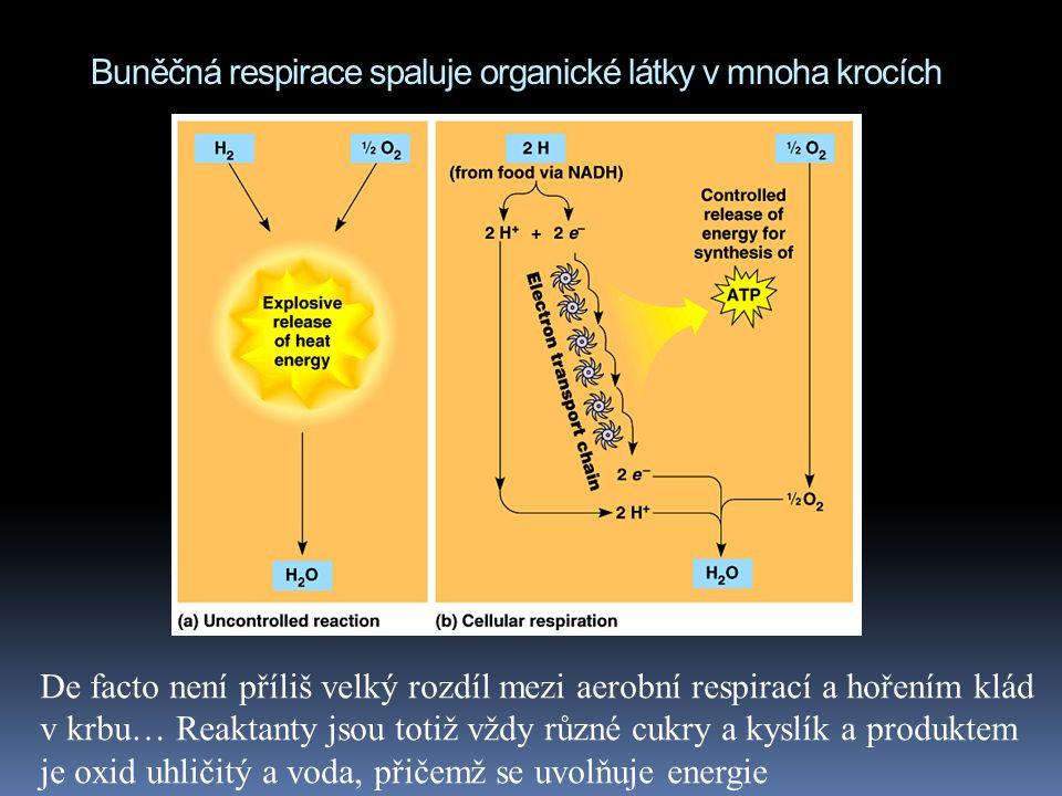 Buněčná respirace spaluje organické látky v mnoha krocích