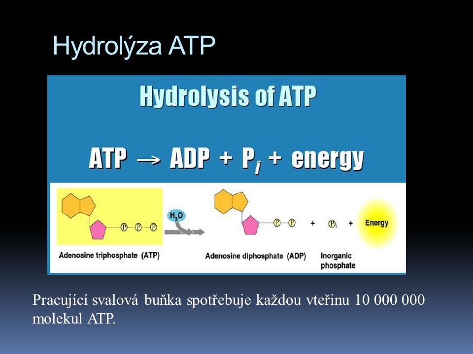 Hydrolýza ATP Pracující svalová buňka spotřebuje každou vteřinu 10 000 000 molekul ATP.