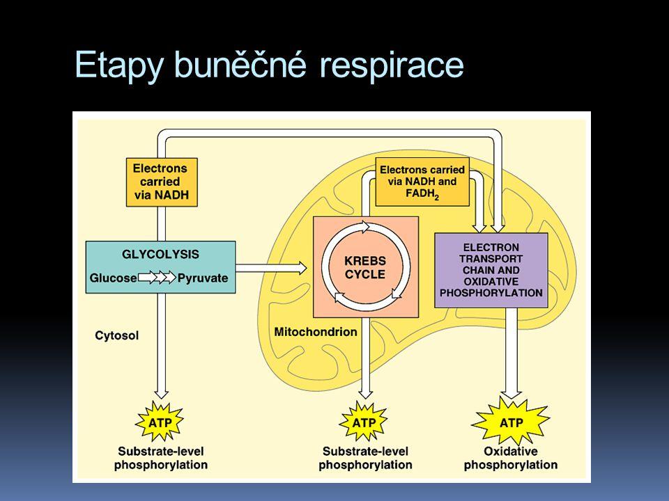 Etapy buněčné respirace
