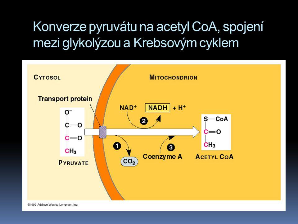 Konverze pyruvátu na acetyl CoA, spojení mezi glykolýzou a Krebsovým cyklem