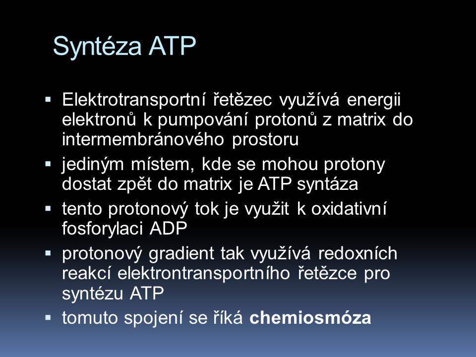 Syntéza ATP Elektrotransportní řetězec využívá energii elektronů k pumpování protonů z matrix do intermembránového prostoru.