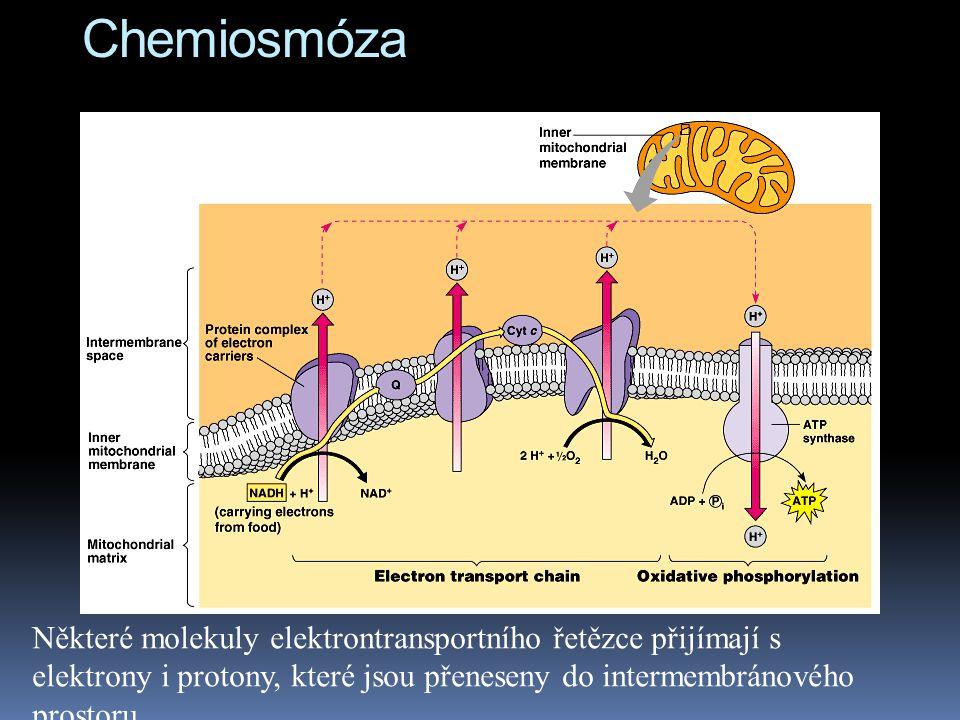 Chemiosmóza Některé molekuly elektrontransportního řetězce přijímají s elektrony i protony, které jsou přeneseny do intermembránového prostoru.
