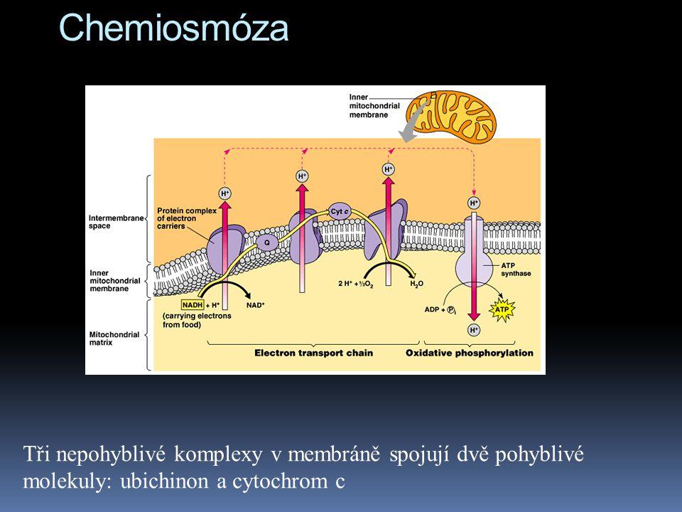 Chemiosmóza Tři nepohyblivé komplexy v membráně spojují dvě pohyblivé molekuly: ubichinon a cytochrom c.