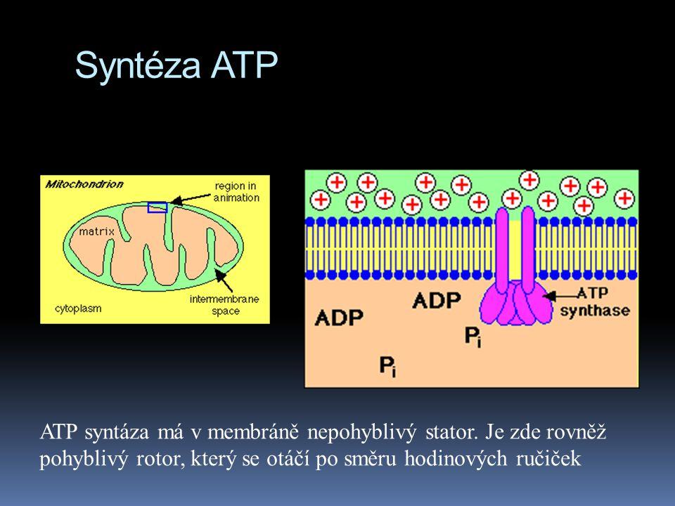 Syntéza ATP ATP syntáza má v membráně nepohyblivý stator.