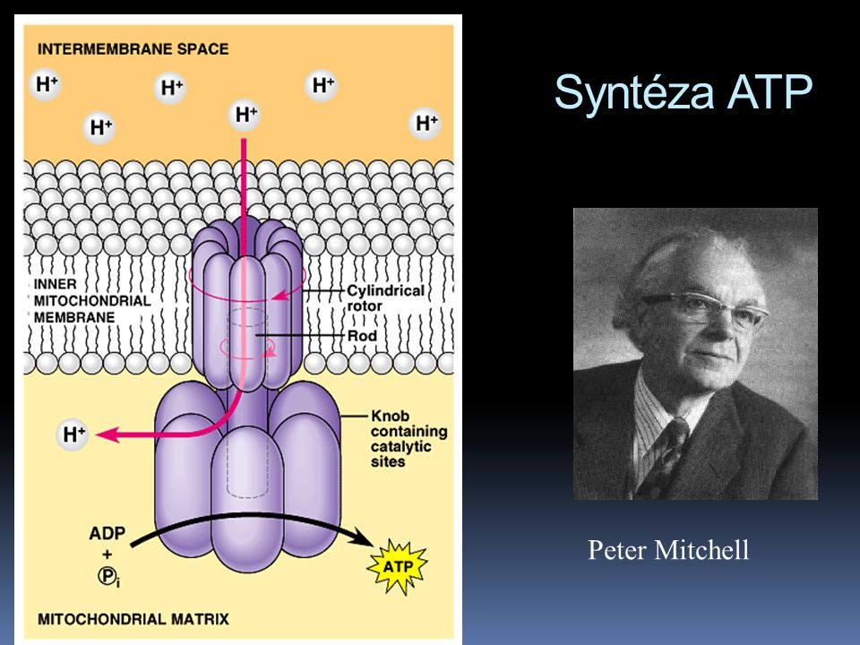 Syntéza ATP Peter Mitchell