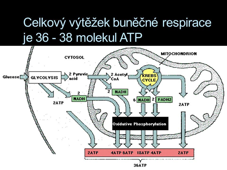 Celkový výtěžek buněčné respirace je 36 - 38 molekul ATP