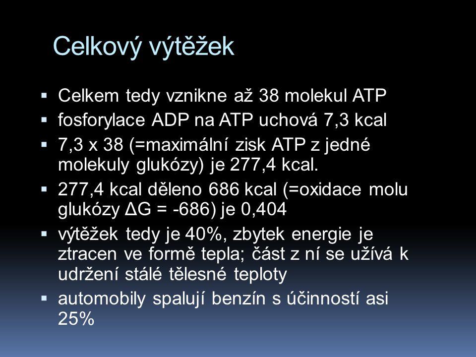 Celkový výtěžek Celkem tedy vznikne až 38 molekul ATP