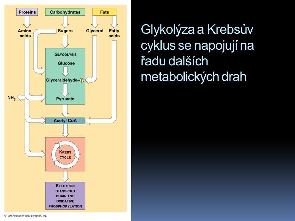 Glykolýza a Krebsův cyklus se napojují na řadu dalších metabolických drah