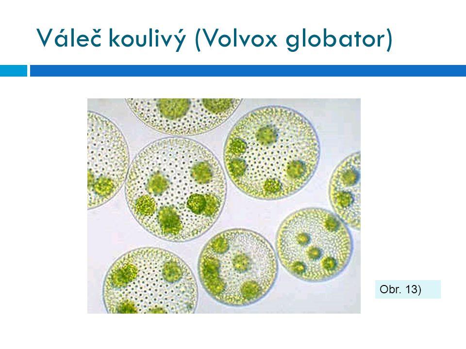 Váleč koulivý (Volvox globator)