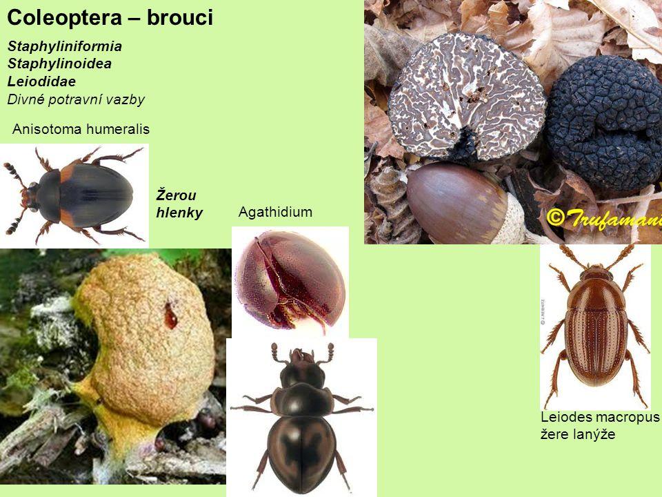 Coleoptera – brouci Staphyliniformia Staphylinoidea Leiodidae