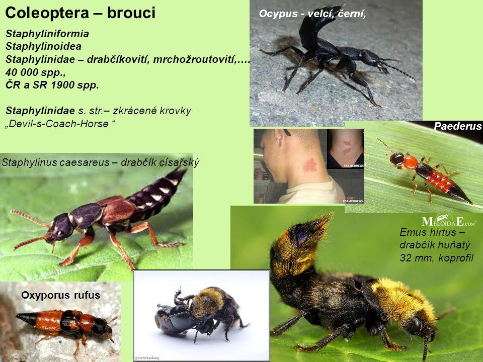 Coleoptera – brouci Ocypus - velcí, černí, Staphyliniformia