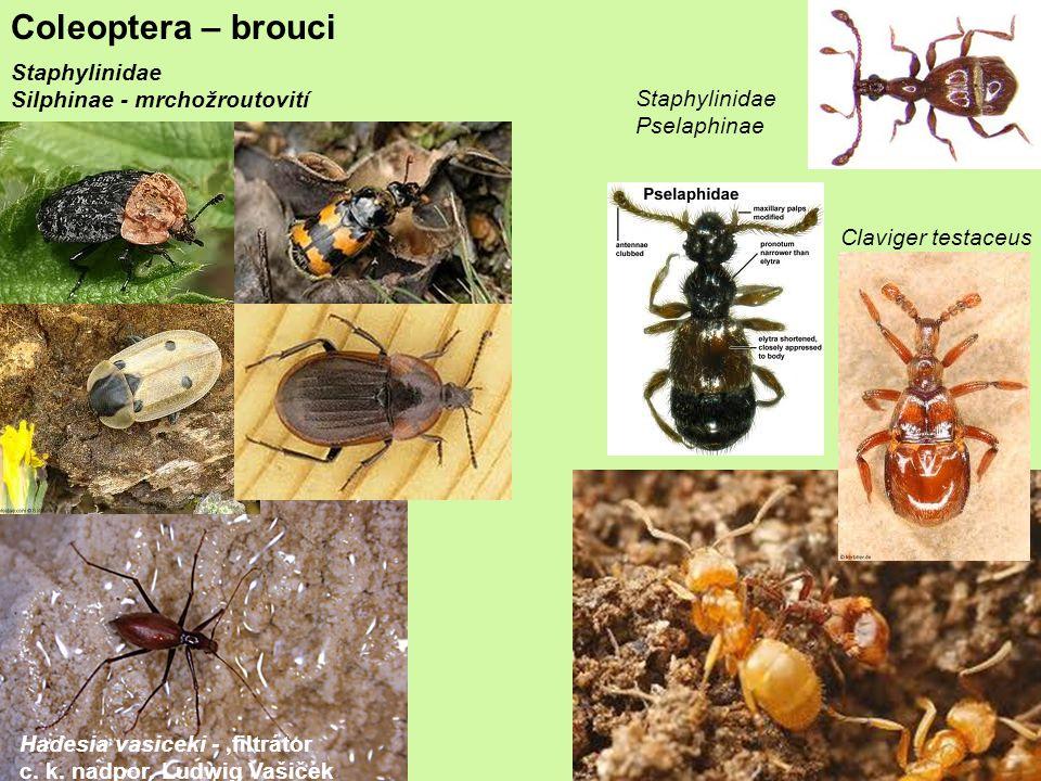 Coleoptera – brouci Staphylinidae Silphinae - mrchožroutovití