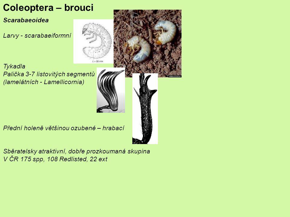 Coleoptera – brouci Scarabaeoidea Larvy - scarabaeiformní Tykadla