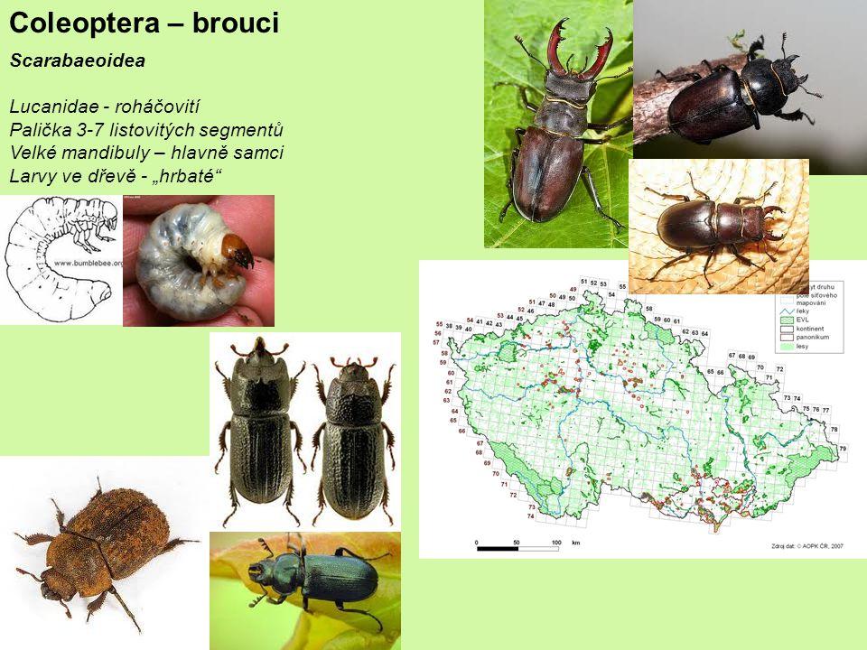 Coleoptera – brouci Scarabaeoidea Lucanidae - roháčovití